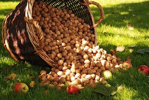 Урожай орехов